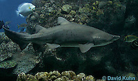 0128-08ss  Sand Tiger Shark, Carcharias taurus © David Kuhn/Dwight Kuhn Photography