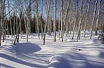 Grove of birch trees in winter