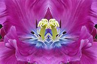 Tulip closeup, Keukenhof Gardens; Lisse; Netherlands, Holland