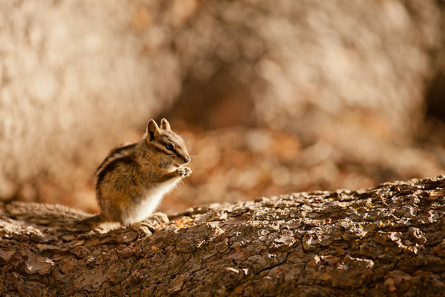 A chipmunk eats some food perched on the bark of a large tree root in the evening light.