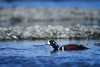 Harlequin duck drake, Brooks river, Katmai National Park, Alaska