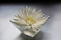 A white mum flower elegantly sits in a small clear glass vase