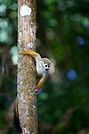 Ilet la mère Singe écureuil ou saïmiri