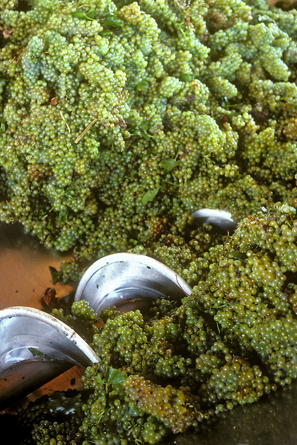 Chardonnay grapes going into crusher.....