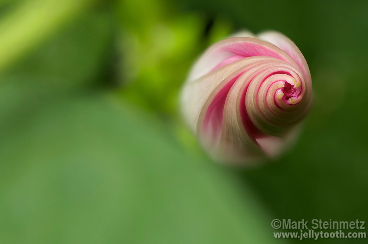 Selective-focus close-up view of an unopened spiral bud of a pink Morning Glory flower