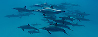 RZ1045-Dp. Spinner Dolphins (Stenella longirostris), very gregarious species often found in large groups. Hundreds of thousands were killed in past decades in purse seine nets used by the commercial tuna fishing fleet in the eastern tropical Pacific Ocean. Egypt, Red Sea. Cropped to panorama from native horizontal format.<br /> Photo Copyright &copy; Brandon Cole. All rights reserved worldwide.  www.brandoncole.com