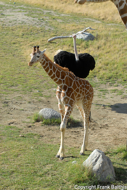 reticulated giraffe being chased by ostrich