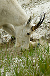 The mountain goat is pawing the ground and eating dirt for the mineral content to supplement their diet