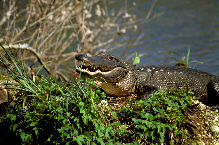 FL: Florida Everglades National Park, alligator.Photo Copyright: Lee Foster, lee@fostertravel.com, www.fostertravel.com, (510) 549-2202.Image: flever263