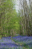 Bluebell Wood (Hyacinthoides non-scripta)