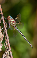 339650010 a wild male swamp darner dragonfly epiaeschna heros perches on a dead twig in jasper county texas