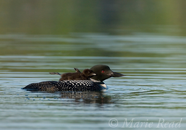 Common Loon (Gavia immer) adult with chick (stretching) riding on its back, Michigan, USA