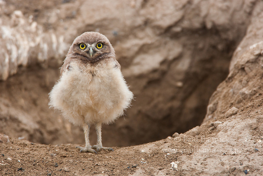 A young Burrowing Owl emerges from the nest at about 10 days old. Burrowing Owls possess rudimentary digging skills, and must rely upon mammals such as prairie dogs, badgers, skunks, and ground squirrels for creating the initial nest cavity. (Washington)