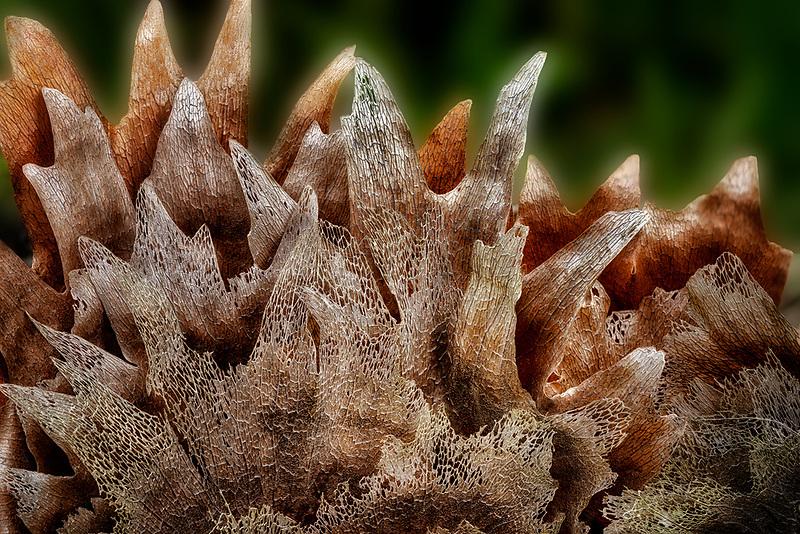 Close up og Staghorn fern. Hawaii, The Big Island.