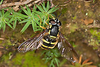 Späte Wespenschwebfliege, Späte Wespen-Schwebfliege, Gestreifte Schwebfliege, Chrysotoxum arcuatum, syn. Chrysotoxum fasciatum,  imitiert das Aussehen von Wespen, um Schutz vor Fressfeinden zu haben, Tarnung, Mimikry, small wasp hoverfly, wasp-hoverfly, Schwebfliegen, Syrphidae, hoverflies