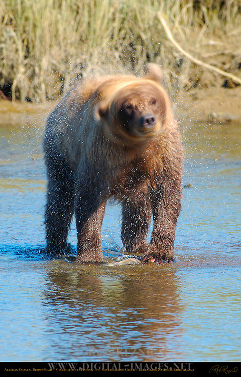 Alaskan Coastal Brown Bear, Shakeoff after Fishing, Silver Salmon Creek, Lake Clark National Park, Alaska