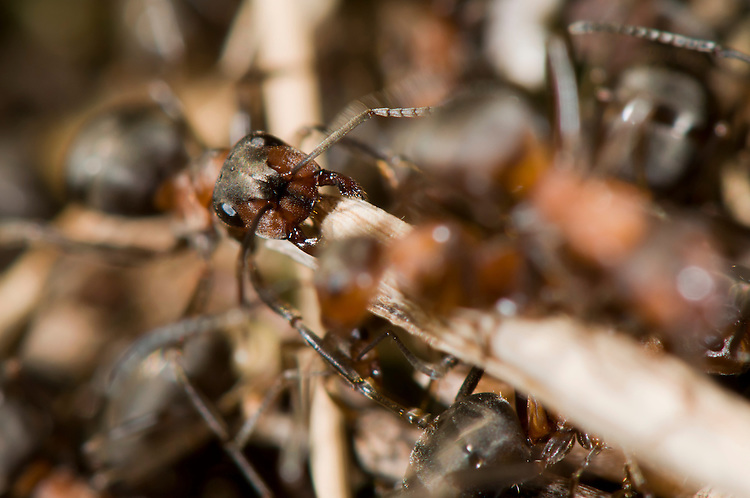 Wood ant, Formica rufa, collecting nest material. Sapperton, Gloucestershire. UK.