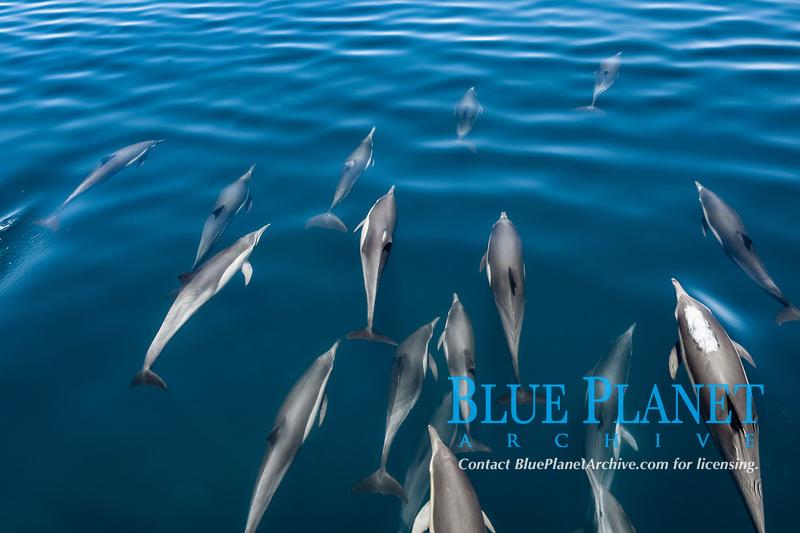 short-beaked common dolphin, Delphinus delphis, pod, bow-riding, Mexio, Gulf of California, Sea of Cortez, Pacific Ocean