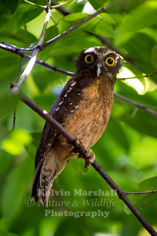 Ochre-bellied boobook (Ninox ochracea) is a species of owl in the family Strigidae. It is endemic to Sulawesi, Indonesia. Its natural habitats are subtropical or tropical dry forests and subtropical or tropical moist lowland forests. It is threatened by habitat loss.