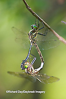 06544-002.08 Hine's Emerald (Somatochlora hineana) male and female mating, Federally Endangered Species Reynolds Co, MO