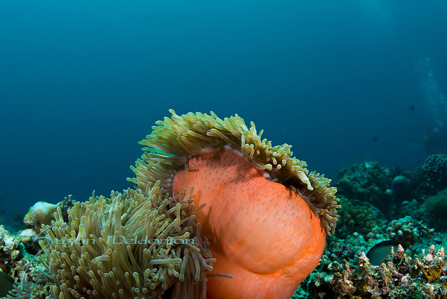 Orange Barrel Anemone,Radianthus magnifica, Wide Angle; colorful tropical reefs; healthy reefs; reefscapes, Maldives