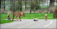 BNPS.co.uk (01202 558833)<br /> Pic: IanTurner/BNPS<br /> <br /> The waiting game... Longleat's Cheetah cubs learn how to stalk.<br /> <br /> Two cheeky cheetah cubs have proven they were born to run - showing off their impressive speed for the first time.<br /> <br /> The six-month-old rare twins Poppy and Winston, the first cheetahs ever to be born at Longleat Safari Park in Wiltshire, have started developing the hunting skills they would need in the wild.<br /> <br /> Keepers at the wildlife park set up a speeding lure, similar to those used at greyhound races, to put the youngsters through their paces.