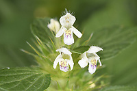 Common Hemp-nettle - Galeopsis tetrahit