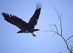 white-backed vulture taking off