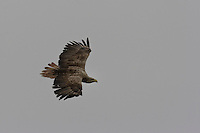 Seeadler, See-Adler, See - Adler, Haliaeetus albicilla, White-tailed Eagle, Pygargue à queue blanche, im Segelflug, Flug, Flugbild, Jugendkleid
