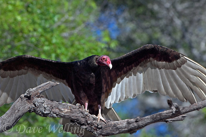 591260037 a wild turkey vulture cathartes aura a scavenging raptor perches on a dead tree limb with its wings spread in the texas hill country of central texas