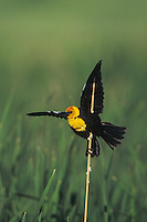 Yellow-headed Blackbird (Xanthocephalus xanthocephalus), male singing, Colorado, USA