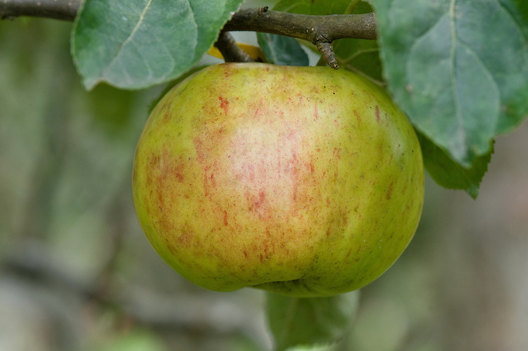 Apple 'Gravenstein', early September. A European heritage apple with disputed origins. Some believe it to date back to the 1600s where it grew at Duke Augustenberg's Castle Graefenstein in Schleswig-Holstein. Others claim that it originated in Italy or South Tyrol and was brough to Denmark in about 1669. Exported to England and to California in the 1820s. Remains popular in the USA and northern Europe, though can be prone to disease.