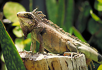 Iguana on stump. Saint Thomas Virgin Islands, caribbean.
