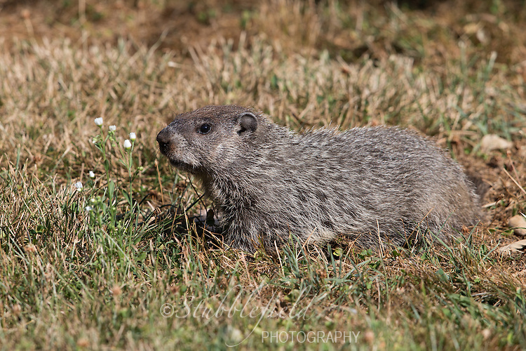 Groundhog (Marmota monax) foraging in the grass at Richard W. DeKorte Park in Lyndhurst, New jersey.