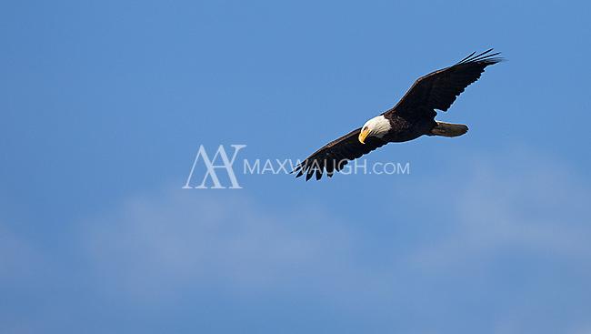 A bald eagle soars over Yellowstone Lake.