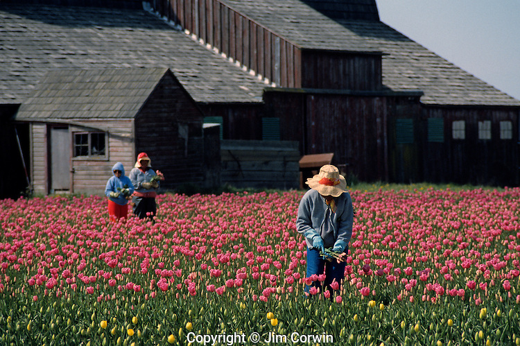 Multi-colored tulip field with farm hands picking tulips Skagit County near Mount Vernon Washington State USA
