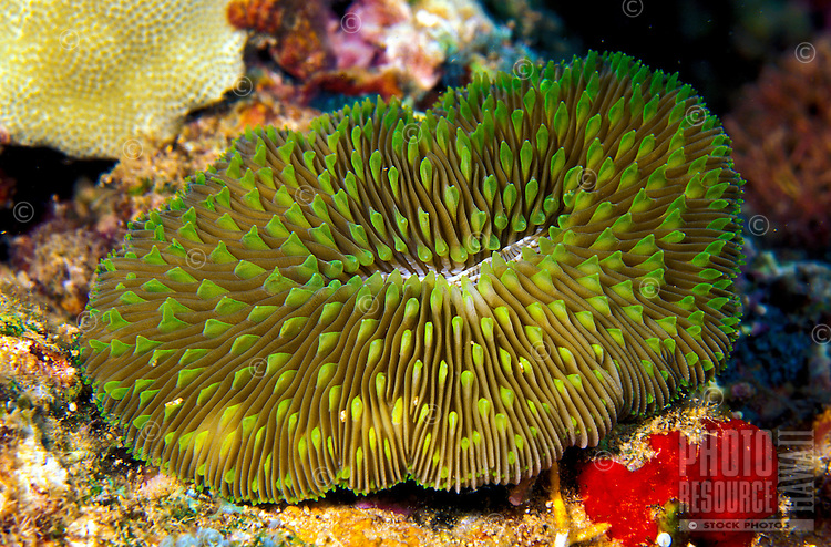 The unique Mushroom Coral (Fungia scutaria).  Hawaiian name is Ako ako a kohe.