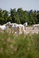 France/13/Bouches du Rhone/Camargue/Parc Naturel Régionnal de Camargue/Arles: Poulains et juments du Mas de la Chassagne