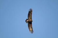 Eurasian Black Vulture - Aegypius monachus