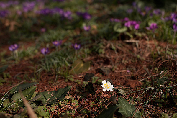 February 2, 2012. Hillsborough, NC.. A single bloodroot flower blooms near a bed of lavender crocuses, or tommies..  Nancy Goodwin, who used to run a mail order nursery for rare bulbs, has now preserved her gardens, which in winter, have thousands of blooming flowers and plants, including many rare species which she has cultivated and planted from seeds.