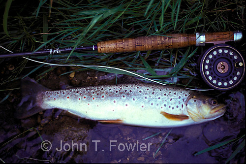 Fly fishing for wild speckled rainbow brown trout on Credit River Ontario<br />