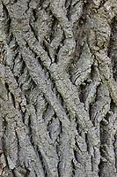 Sommer-Linde, Sommerlinde, Rinde, Borke, Stamm, Baumstamm, Linde, Tilia platyphyllos, Tilia grandifolia, large-leaved lime, Large Leaved Lime, largeleaf linden, large-leaved linden, lime, linden, bark, rind, trunk, stem, Le tilleul à grandes feuilles