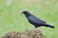 Adult common raven with a beak full of nest material as it prepares for breeding season.<br />