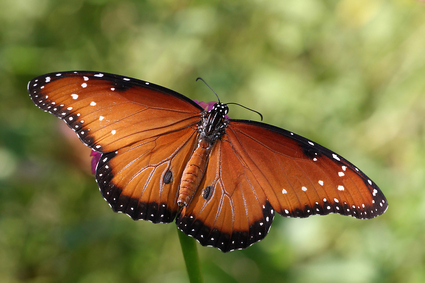 The Queen is a large chocolate brown butterfly. The wings are edged with black and there are a few white spots on the wings, but the predominant impression is chocolate.