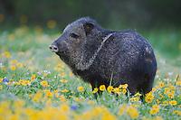 Collared Peccary, Javelina (Tayassu tajacu), adult in field of Huisache Daisy (Amblyolepis setigera), Sinton, Corpus Christi, Coastal Bend, Texas, USA