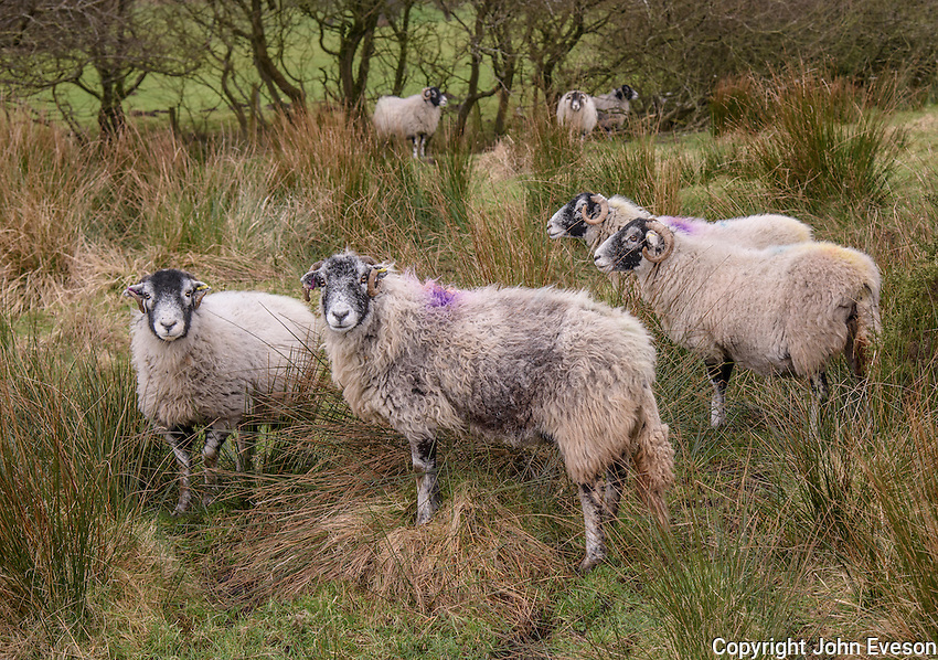 Swaledale ewes, Chipping, Lancashire.