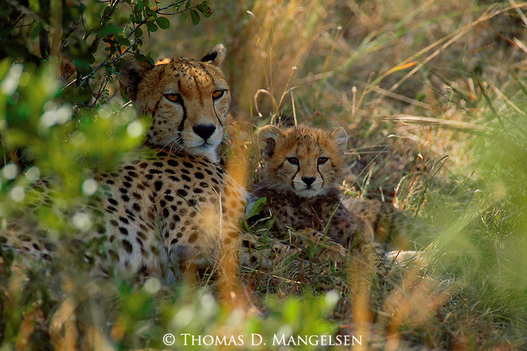 A cheetah and her cub rest in the shade in Aitong Hills in Southwest Kenya.