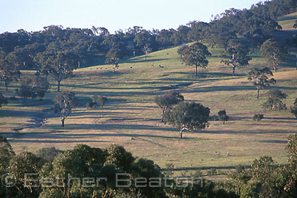 Rolling slopes and plains which have been partialy cleared for grazing; savannah woodland near Canberra, Australian Capital Territory