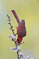 Northern Cardinal ( Cardinalis cardinalis), adult male perched on blooming Mexican Plum  (Prunus mexicana), Hill Country, Central Texas, USA