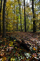 Mature autumn woodland, Stoke Wood, Oxfordshire